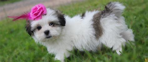 malshi puppies for sale mal shi puppies for sale