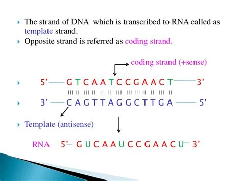 coding template strand transcription