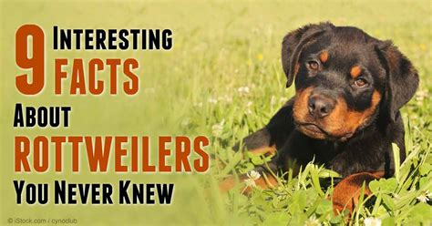 facts about rottweilers rottweiler interesting facts new pictures breeds picture