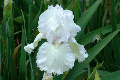 Iris City Gardens by Iris City Gardens Bearded Iris Page 3 Of 5