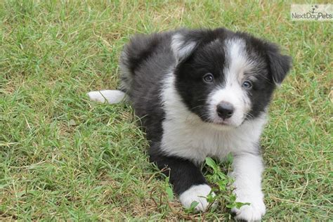 border collie puppies for sale in missouri border collie puppy for sale near st louis missouri 72d6d00a 5af1