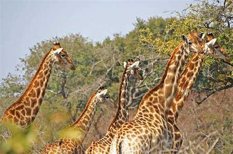 imagenes de jirafas con reflexion fotos de jirafas esos esbeltos animales