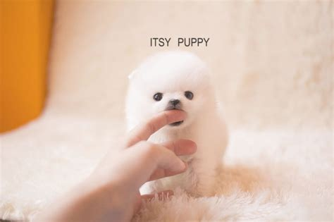 micro teacup white pomeranian sold zoe micro pom itsy puppy teacup microteacup puppies for sale