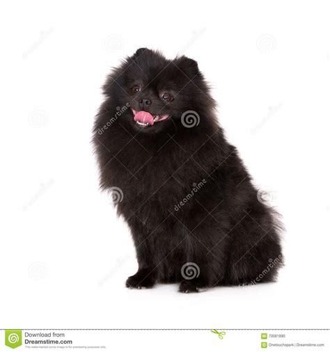 chien pomeranian chien pomeranian noir de spitz sur le blanc photo stock image 70081890