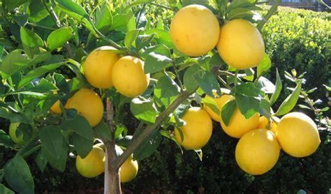 Bebih Biji Jeruk Lemon Import 8 macam tanaman hias beserta contoh dan penjelasannya