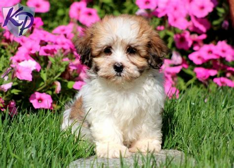 shichon puppies for sale in pa shichon puppies for sale in pa keystone puppies
