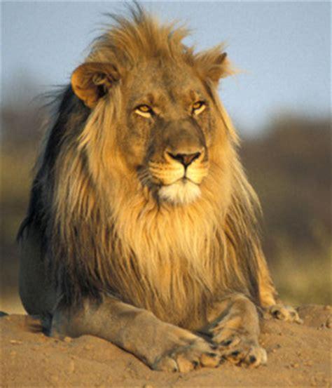 imagenes de leones feroces el le 243 n como s 237 mbolo rasta