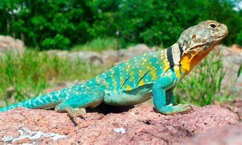 imagenes reales de un basilisco lagartos caracter 237 sticas tipos qu 233 comen d 243 nde viven