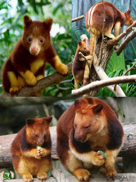 doodlebug the kangaroo tree kangaroo save our green