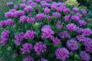 Flowers Eden Prairie Mn - petite delight monarda monarda petite delight in