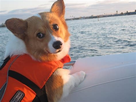 boating and swimming near me 1000 images about corgis swimming and boating on
