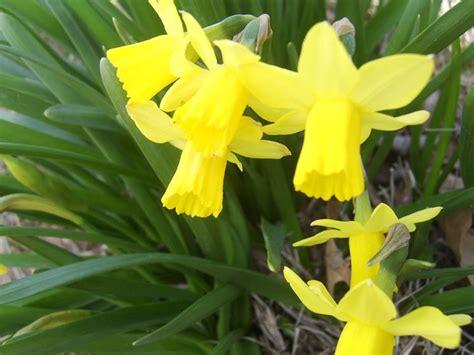 fiori da bulbi bulbi e fiori bulbi bulbi e fiori giardino