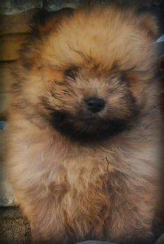 teddy pomeranian for sale australia schnauzer shih tzu mix teddy puppy so teddy puppies