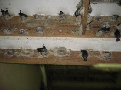 Sarang Lu saifswift bird s nest toko walet insyallah cita cita
