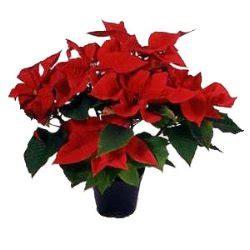 consegna fiori genova stella di natale cacciola fiori consegna fiori genova