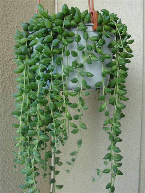 Rose Plant Diseases - senecio herreianus string of beads world of succulents