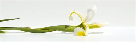 iris fiore le bulbose iris coltivazione e cura