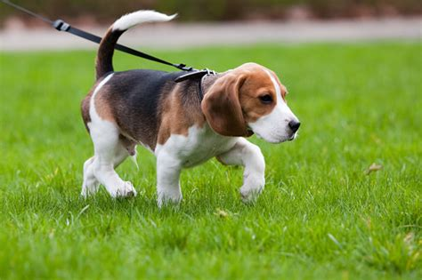 most popular dogs in the us 23 most popular breeds in the united states show page 12