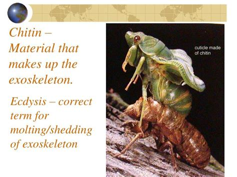 Shedding Of The Exoskeleton by Ppt Welcome To Bug Week Powerpoint Presentation Id
