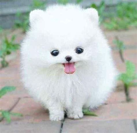 rare dog breeds puppies 1000 images about rare dog breeds on pinterest amazing