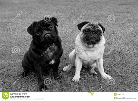 pugs colours two pug dogs of different color royalty free stock photography image 35912787