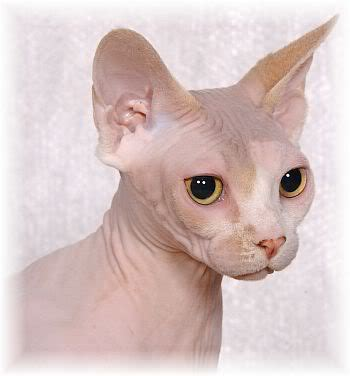 can a get a cat where can i get a hairless siamese cat yahoo answers