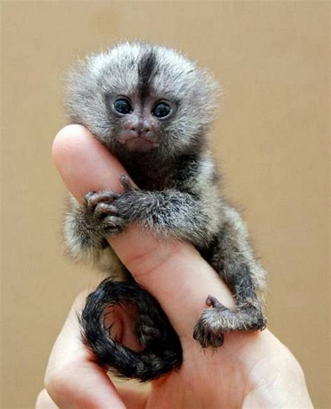 the smallest monkey in the world incredible dot com
