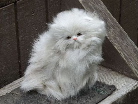 20  Most Popular Long Haired Cat Breeds   Persian cats