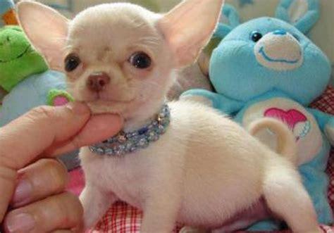 imagenes de mascotas foto de perros reliable index image fotos de perros chihuahua