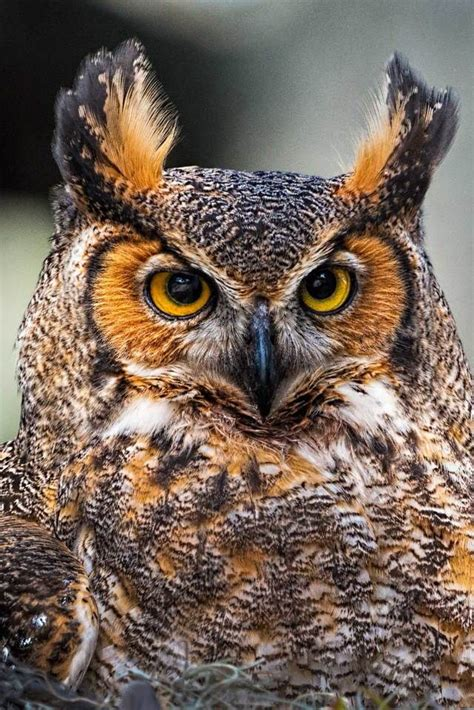 95 Best Owl Images On Animal - 139 best images about owl on owl bird