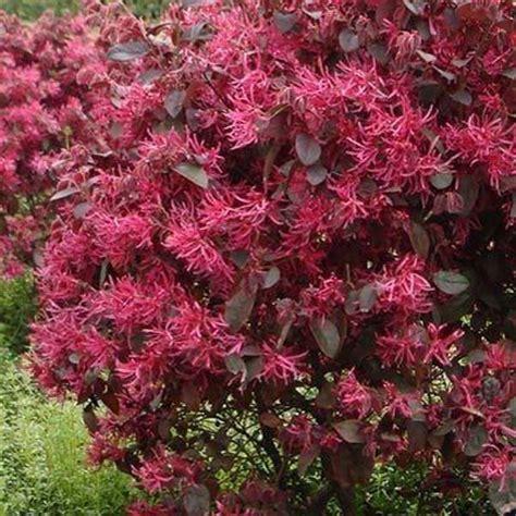 piante con fiore rosso loropetalum chinense rubrum vendita piante solopiante it