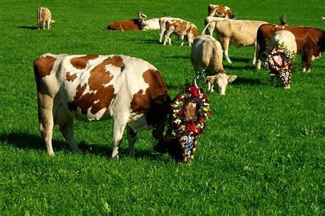 la espaa vaca viaje b01dkun97c 191 por qu 233 los hind 250 es adoran a las vacas