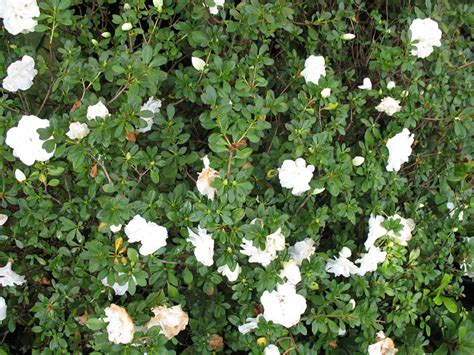 Gardenia Planting Zones Plant Guide Rhododendron Hardy Gardenia Hardy