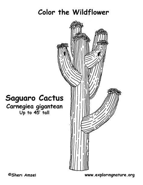 saguaro cactus coloring pages