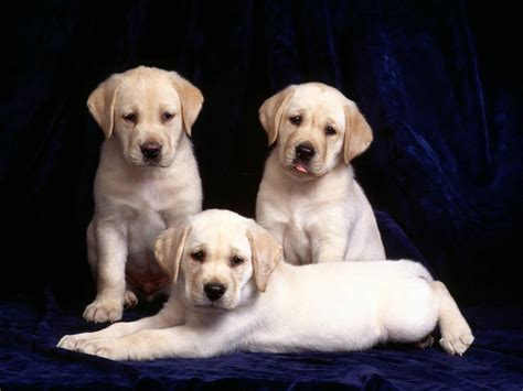 Lab Puppies Cool Pets 4u Labrador Puppies Review And Pictures
