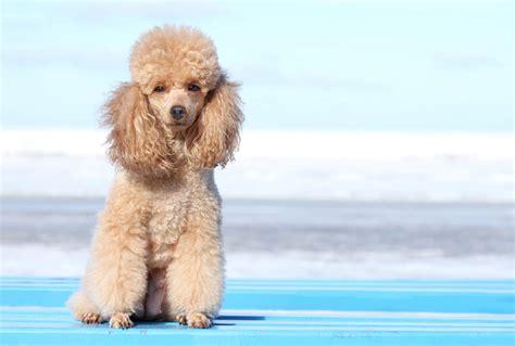 miniature poodles the poodle information center miniature poodle dogs breed information omlet