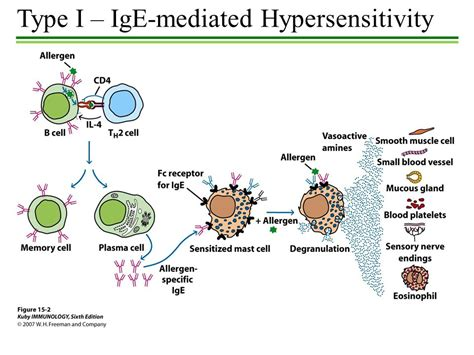 rype 4 secondary rype 2 hypersensitivity hypersensitivity exaggerated immune