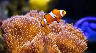 la chachipedia el pez payaso apexwallpaperscom pez payaso el peque 241 o habitante de los arrecifes hogarmania