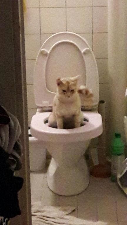 cat keeps pooping in bathtub how to toilet train your cat 11 steps with pictures