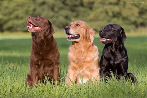 chocolate lab golden retriever mix puppies search results for golden retriever pinscher mix black hairstyle and haircuts