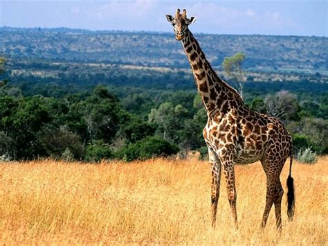 imagenes de jirafas sacando la lengua donde viven las jirafas que comen como nacen