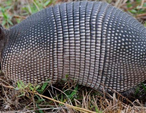 species profile  banded armadillo dasypus novemcinctus rainforest alliance