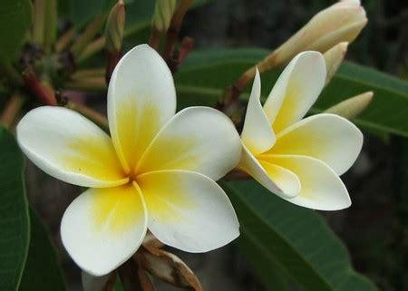 pomelia fiore piante da appartamento la plumeria pollicegreen