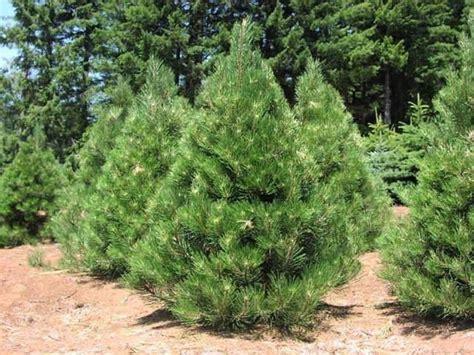 pino da giardino su un pino domande e risposte giardino