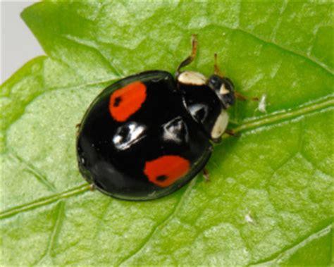 ladybugs in my bathroom ladybug ladybird lady beetle adearisandi s blog