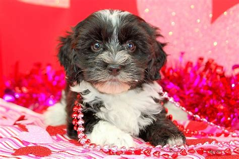 tri colored havanese puppies 2500 or save 100 with your 25 donation to the leukemia and lymphoma society 2400