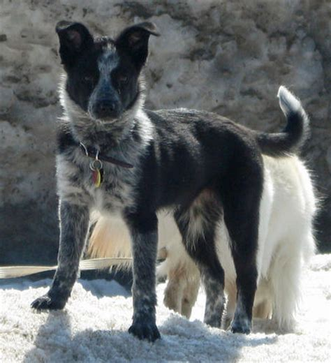 australian cattle border collie mix sydney the border collie mix dogs daily puppy