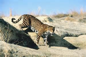 Arizona Jaguar Extinct The Grassroots Fight Against The Sixth Great Extinction