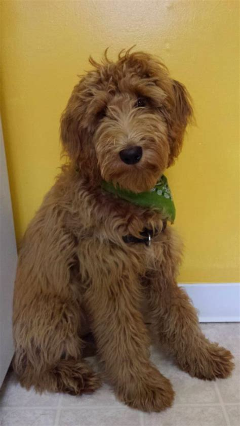 Low Maintenance Non Shedding Dogs by Low Maintenance Mellow Non Shedding Breed Breeds