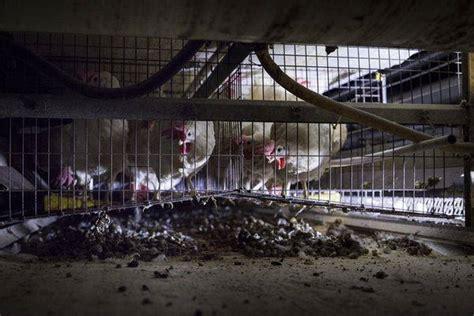 galline allevate in gabbia eurospin basta uova di galline allevate in gabbia